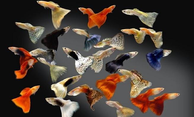 Cá bảy màu đẹp nhất thế giới