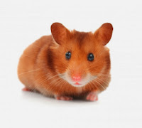 Hamsters marrom