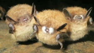 http://www.cbc.ca/news/canada/nova-scotia/some-bats-with-white-nose-syndrome-cured-by-bacteria-scientists-say-1.3086217