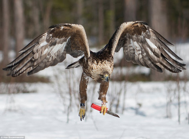 golden eagle who carries a KNIFE