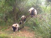Zoo Panda di Chengdu