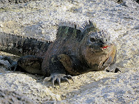 The loser in the aftermath of an iguana fight, galapagos Islands, Ecuador.