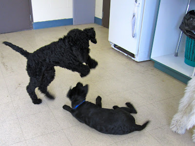 3 month old black lab Romero is playing with a 6 month old black standard poodle in the middle of a tiled training room at the Dog Guides kennel. In the background are several brown doors, a white refrigerator, and a cupboard containing a cane and a garbage can. The black poodle is on his back legs in mid-jump, looking down at Romero who is on the ground beneath him. Romero is a black blur as he is rolling over on the floor, with his ears flying out to the sides. To the right of the picture there is another white shaggy poodle, though just his back legs are in the picture.