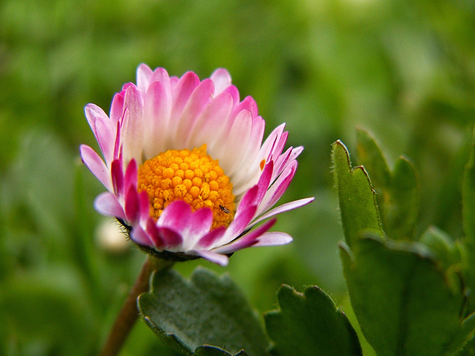 Daisy Flower Petals Hd Wallpapers