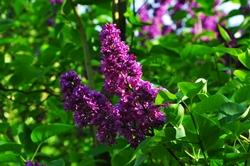 Die violetten Lichter in unserem Garten...