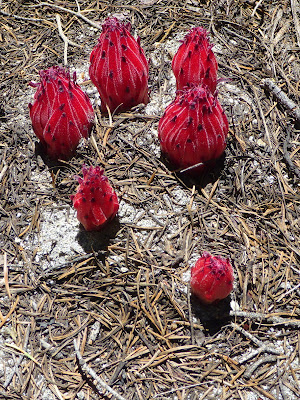 Snowplant ring, valley of Meeks Creek, California