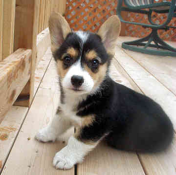 Corgi Puppies on Blog Klubowicza Borderka7