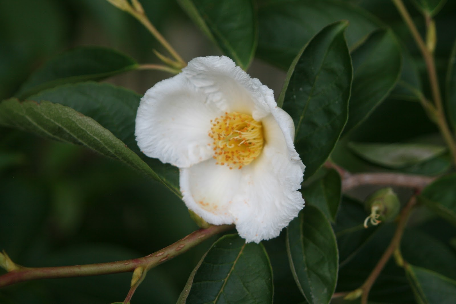 Reeds Garden Ramblings Stewartia Psuedocamellia A Tree Love Affair