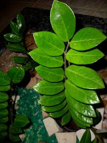 Zamioculkas (Orig. Tanzânia/África)