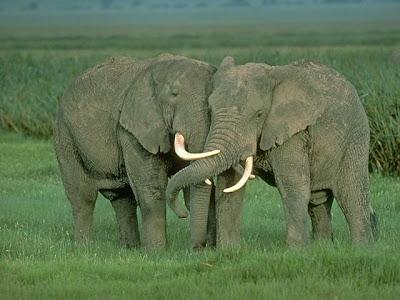 keunikan hewan gajah, binatang dilindungi, sifat unik menarik seekor gajah,  Gajah Tak Pernah Lupa Kawan Lama