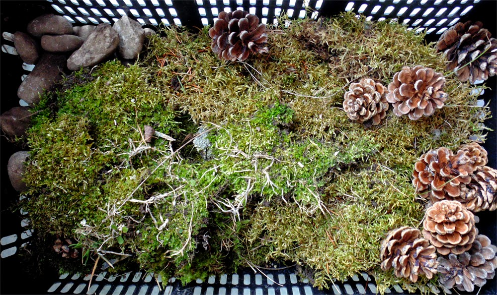 Moss for Pixie Hill fairy gardens - Nichola Battilana