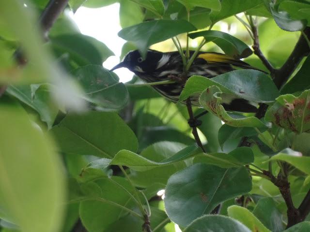 honeyeater melbourne birdwatching