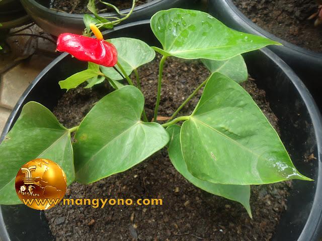 FOTO : Anthurium bunga Merah