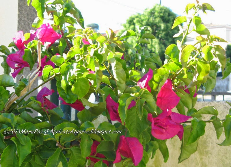 Wine bougainvillea