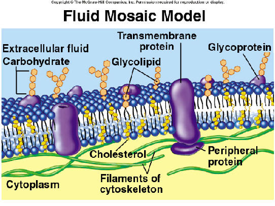 How Do I Describe the Fluid Mosaic Model?