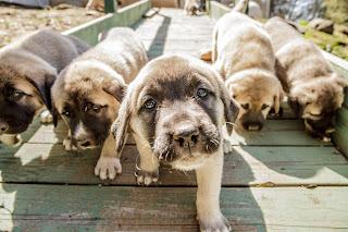 Anatolian Shepherd Puppy Picture