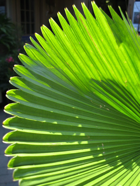 Ruffled fan palm