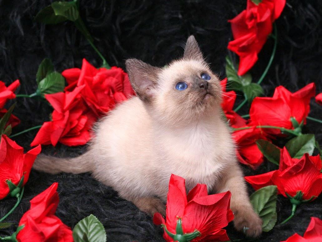 rosas y gatos