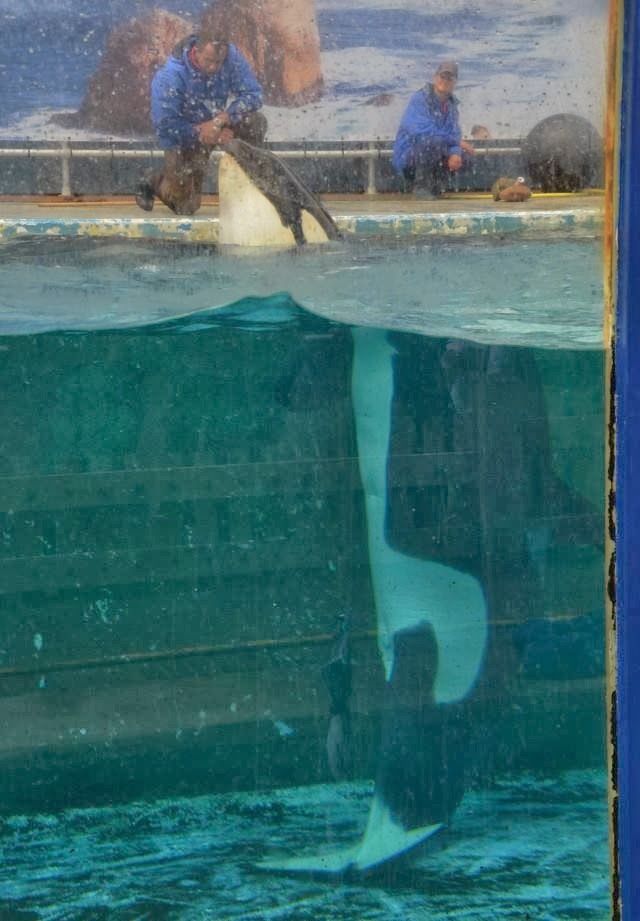 SeaWorld to phase out killerwhale shows captivity