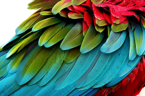 Parrot feathers - photo#25
