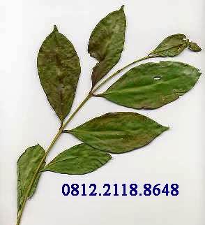 Manfaat dan khasiat daun salam untuk kesehatan