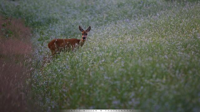 Ree in laatste licht op wilde radijs akker- Roe Deer in Wild Raddish flowefield - Capreolus capreolus