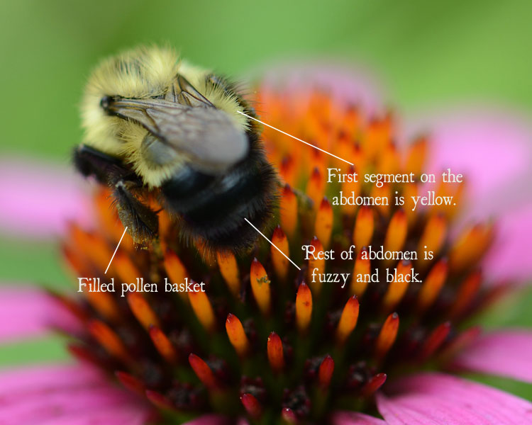 Common Eastern Bumble Bee--only the first segment on the abdomen is yellow, the rest is fuzzy and black