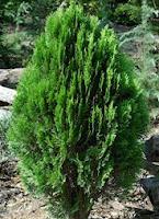árbol tuya, thuja