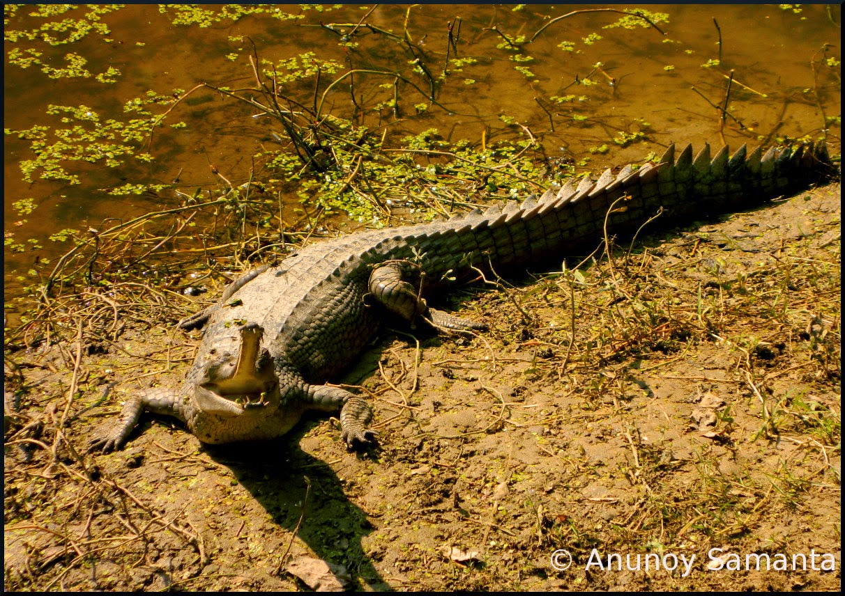 Gharials of Bethuadahari Wildlife Sanctuary