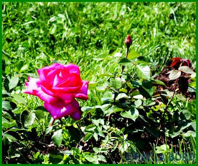trandafir roz mare parcul lumea copiilor bucuresti