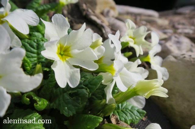 Primula, примула Комарова, примулы, розовые, лиловые, фиолетовые, аленин сад