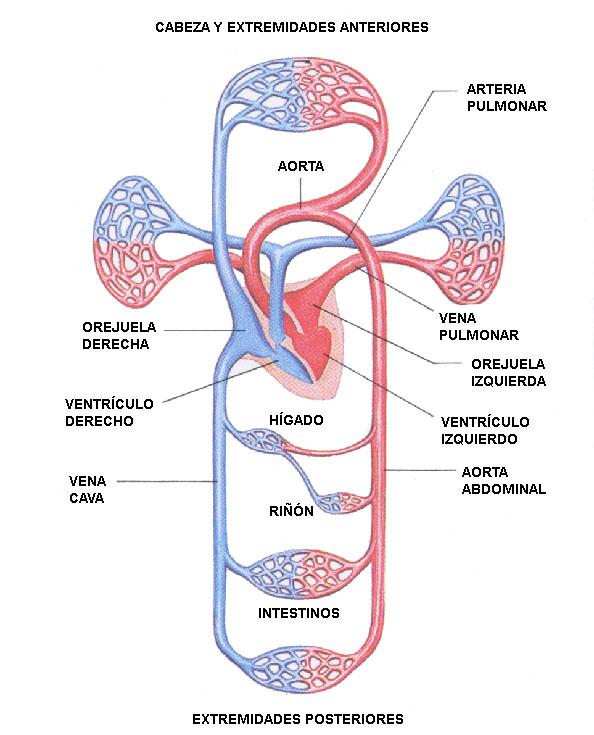 Hermosa órganos Del Sistema Esquelético Imágenes - Anatomía de Las ...
