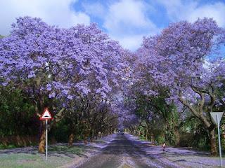 Jacarandas Walk, Afrika Selatan
