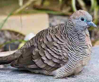 foto hewan - foto burung perkutut