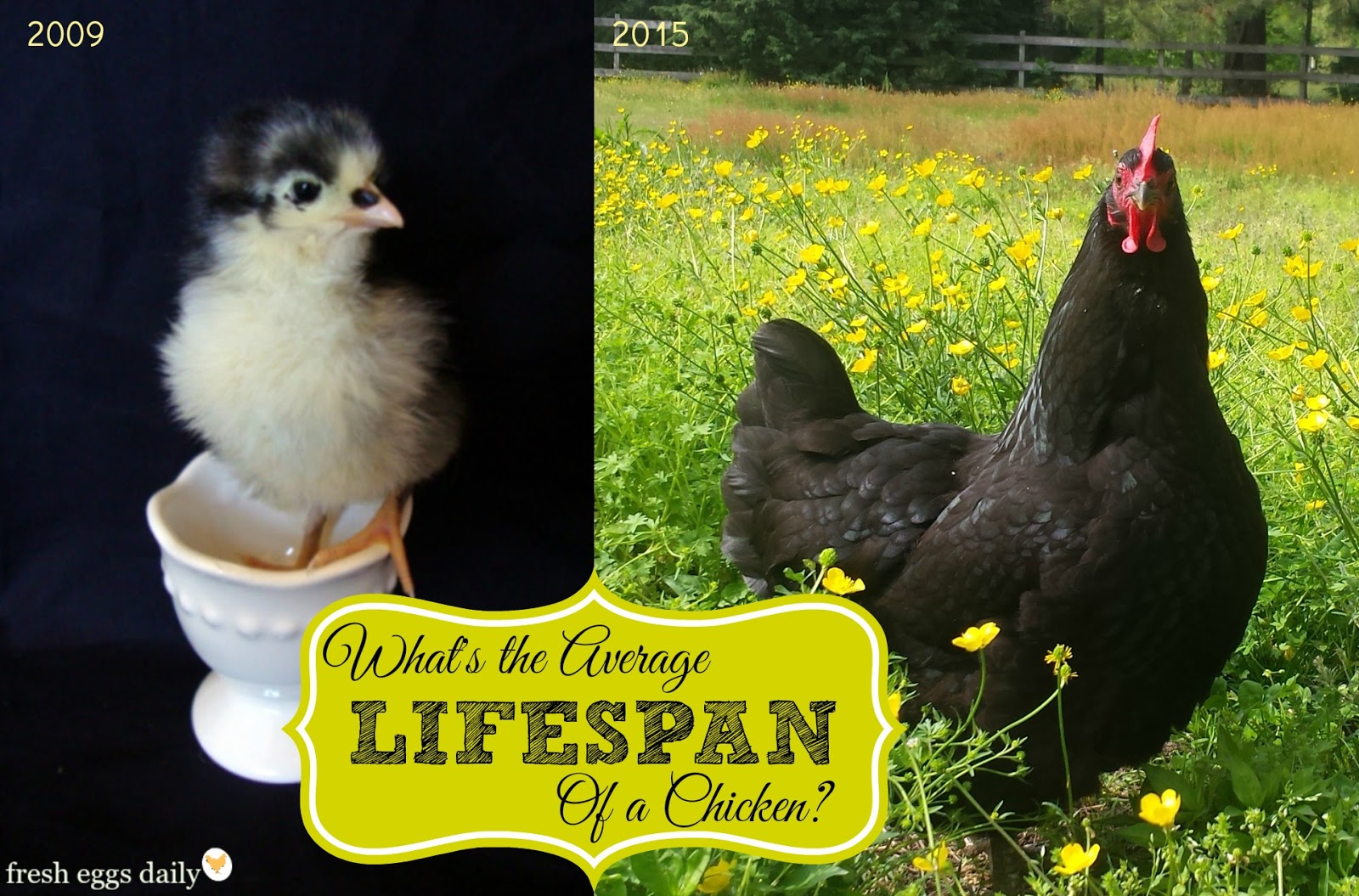 what u0027s the average lifespan of a backyard chicken fresh eggs daily