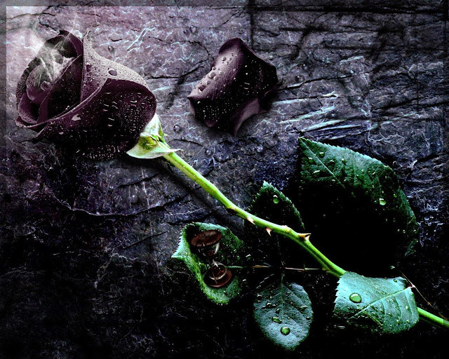 Beautiful Black Rose Wallpapers Free Download
