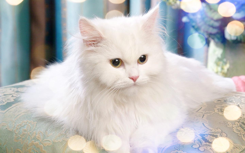Gambar Foto Kucing Persia Lucu Imut Gambar Kata Kata