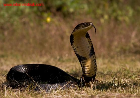 Ilmuwan pecahkan misteri kobra