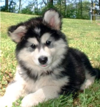 Malamute Puppies on Alaskan Malamute Puppy Best Photos   Puppy Photos Collection
