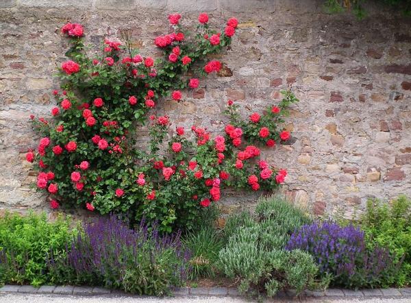 Plantas trepadoras para muros soleados guia de jardin for Plantas trepadoras para muros