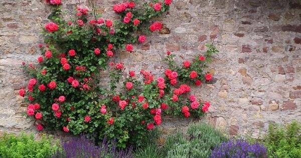 Guia de jardin blog de jardiner a y plantas jard n en for Plantas trepadoras para muros