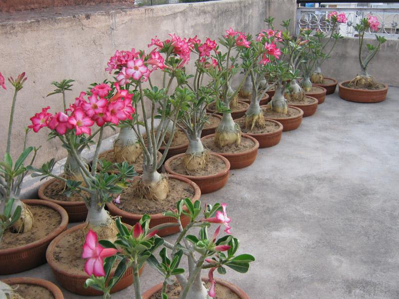 Bonsai Adenium Plant Bonsai Plants Indian Bonsai
