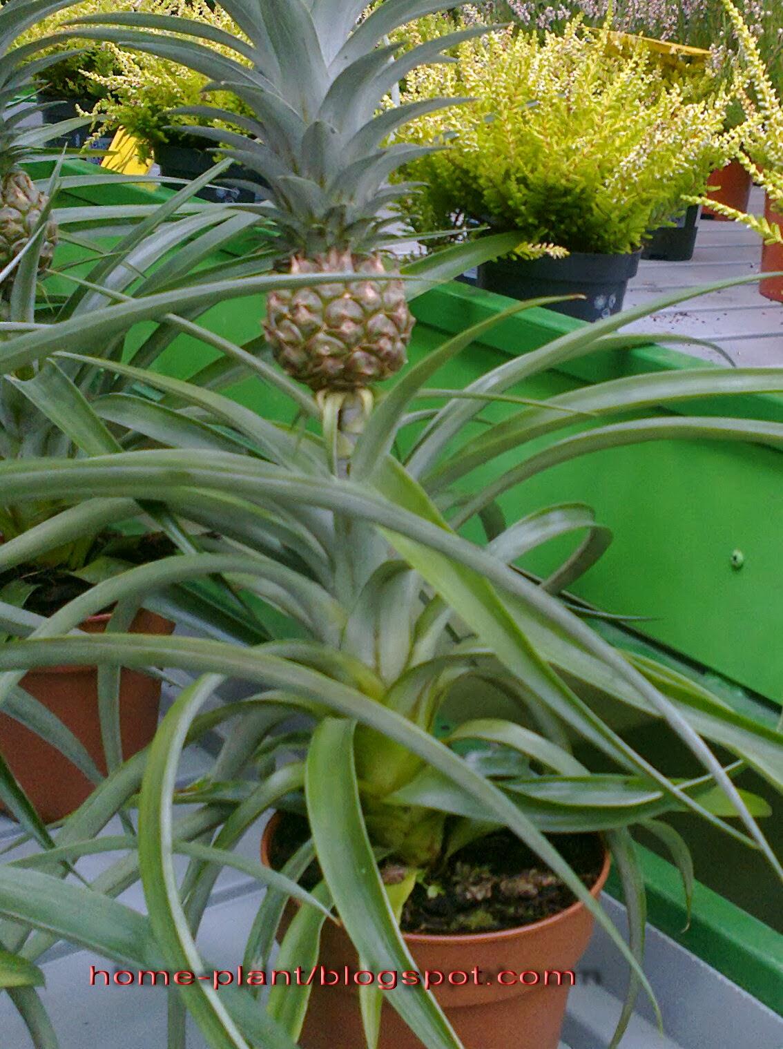 Как ухаживать за ананасом в домашних условиях 47