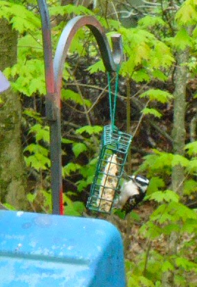 female hairy woodpecker eats suet photo