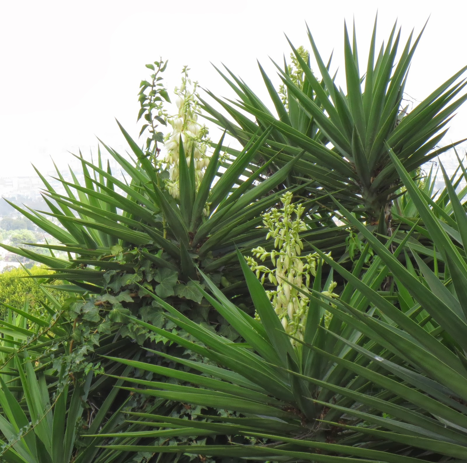 late to the garden party my favorite plant this week yucca elephantipes. Black Bedroom Furniture Sets. Home Design Ideas