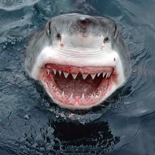 Tubarão branco gigante morde banhista no peito