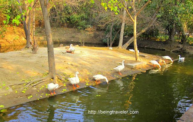 resting ducks