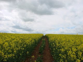 Ancient footpaths through a yellow sea of oilseed rape, Cotswolds, England