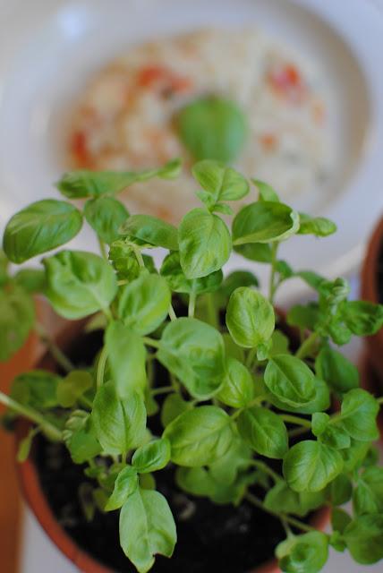 recept, basilika, tomat, risotto