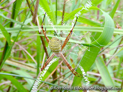 St Andrew's Cross Spiders (Argiope sp.)